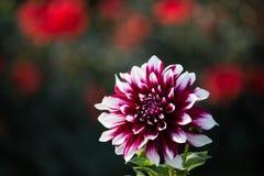 Flor de las dalias Fotografía de archivo