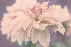 Flor de las dalias, suavemente pétalos rosados en fondo púrpura Fotos de archivo