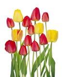 Flor de las flores de los tulipanes en la cama de mayo de la primavera Imagen de archivo libre de regalías