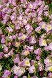 Flor de las flores rosadas de la camp?nula de los bellflowers en el jard?n, fondo de la naturaleza imagen de archivo