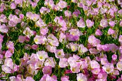 Flor de las flores rosadas de la camp?nula de los bellflowers en el jard?n, fondo de la naturaleza fotografía de archivo