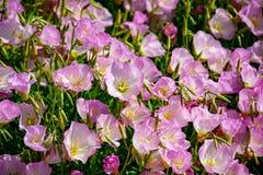 Flor de las flores rosadas de la camp?nula de los bellflowers en el jard?n, fondo de la naturaleza fotos de archivo