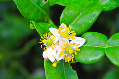 Flor de las frutas de la bergamota en árbol fotografía de archivo