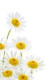 Flor de las margaritas Fotografía de archivo libre de regalías