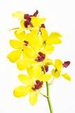 Flor de las orquídeas Imagen de archivo libre de regalías