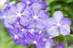 Flor de las orquídeas azules Imagen de archivo