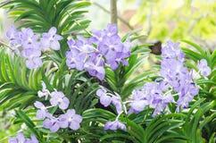 Flor de las orquídeas azules Imagenes de archivo