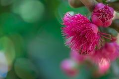 Flor de las pomarrosas en árbol Fotografía de archivo libre de regalías