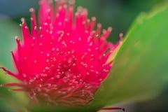 Flor de las pomarrosas en árbol Imagen de archivo libre de regalías