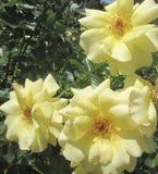 Flor de las rosas Fotografía de archivo libre de regalías