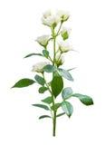 Flor de las rosas aislada Fotografía de archivo libre de regalías