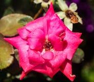 Flor de las rosas fuertes en la floración Foto de archivo