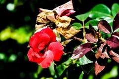 Flor de las rosas fuertes en la floración Fotos de archivo