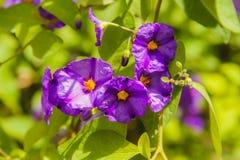 Flor de las violetas fotografía de archivo libre de regalías