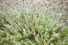 Flor de Lavander Fotografía de archivo