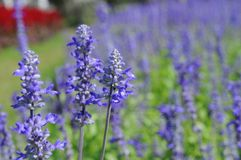 Flor de Lavendar Imagem de Stock Royalty Free