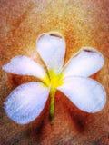 Flor de Leelawadee Fotos de Stock