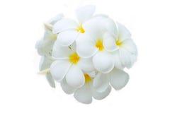 Flor de Leelawadee Foto de Stock Royalty Free