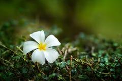 Flor de Leelawadee fotos de archivo libres de regalías