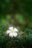 Flor de Leelawadee ninguna 3 Fotografía de archivo