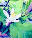 Flor de Lemmon Imagem de Stock