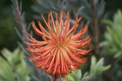 Flor de Leucospermum Fotografia de Stock Royalty Free