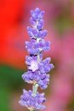 Flor de Levander Foto de archivo