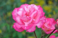 A flor de levantou-se Foto de Stock Royalty Free