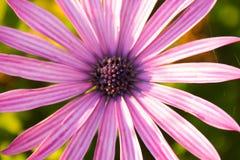 Flor de Lila imagens de stock royalty free