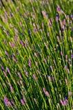 Flor de Lila imagens de stock