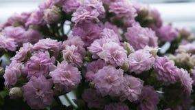 Flor de Lila Kalanchoe do close up imagem de stock royalty free