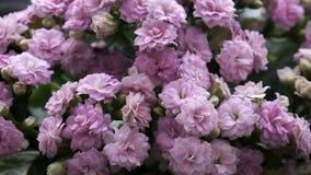 Flor de Lila Kalanchoe do close up fotos de stock