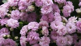 Flor de Lila Kalanchoe do close up fotos de stock royalty free