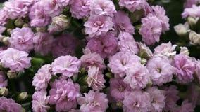 Flor de Lila Kalanchoe do close up fotografia de stock royalty free