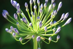 Flor de Lila no jardim Imagem de Stock