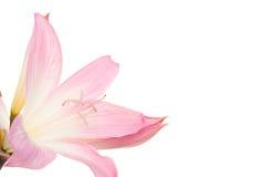 Flor de Lilly imagen de archivo
