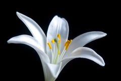 Flor de Lilly Fotografía de archivo libre de regalías