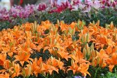 Flor de Lilly Foto de archivo libre de regalías