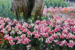 Flor de Lilly Imágenes de archivo libres de regalías
