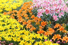 Flor de Lilly Foto de archivo