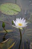 Flor de Lilly em uma lagoa (Nymphaeaceae) Fotos de Stock Royalty Free
