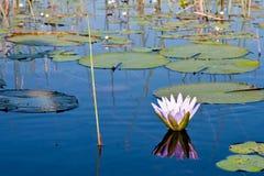 Flor de Lilly en las cañas Imagenes de archivo