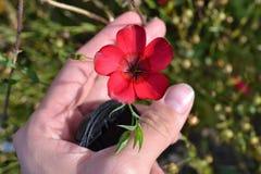 Flor de linho Imagem de Stock