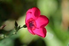 Flor de lino Fotografía de archivo