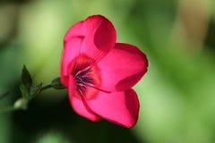 Flor de lino Imágenes de archivo libres de regalías