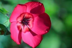 Flor de lino Foto de archivo