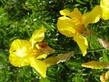 Flor de lis Imagens de Stock Royalty Free