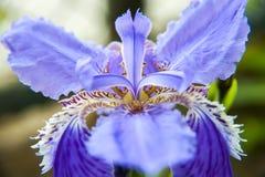 Flor de lis de la máxima del tectorum del iris Fotos de archivo