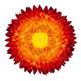 Flor de llama eterna floreciente en blanco Imagenes de archivo