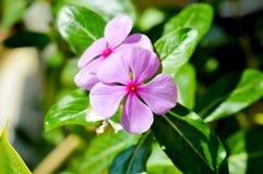 Flor de los adscendens de Ludwigia Imagen de archivo